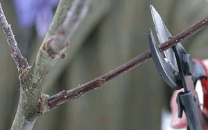 Apple tree pruning