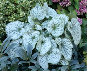 "Brunnera ""Alexanders Great"""