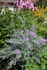 centaurea-silver-feather-garden