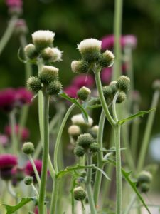 Cirsium 'Frosted Magic'