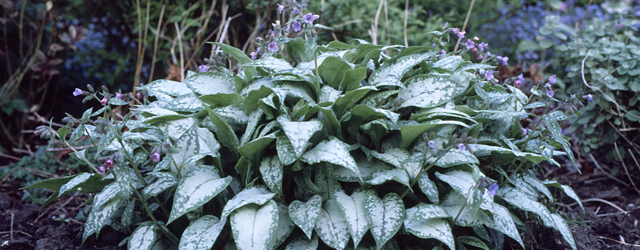 Hostas at Stillingfleet Lodge