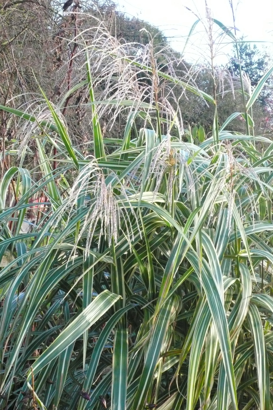 Ornamental grasses stillingfleet lodge gardens for Very tall ornamental grasses