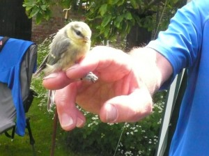 blue tit ringing e1425983071139 300x224 Buy Advance Family Tickets for Wildlife Day