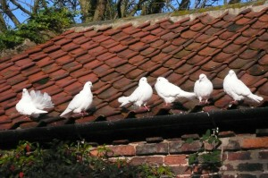 White doves in the Courtyard
