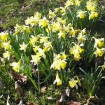daffodills e1458228687252 150x150 Open Evening with Yorkshire Arboretum Open Gardens Pass