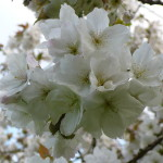 Malus e1458229003620 150x150 Open Evening with Yorkshire Arboretum Open Gardens Pass
