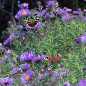 Peacock and Red Admirals © Christine Carr