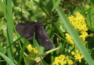 Chimney sweeper moth