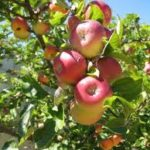 apples 150x150 Buying Plants this Winter