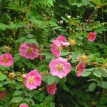 Perfect Summer Days – Roses, Tomatoes and Herbs