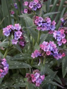 pulmonaria Stillingfleet Meg in flower