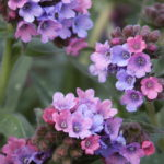 Pulmonaria Stillingfleet Megan