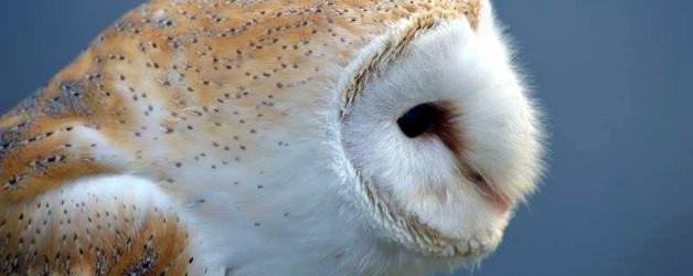 Meet the Owls