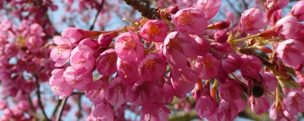 Flowering Cherries and Crab Apples – Stamford Bridge Newsletter